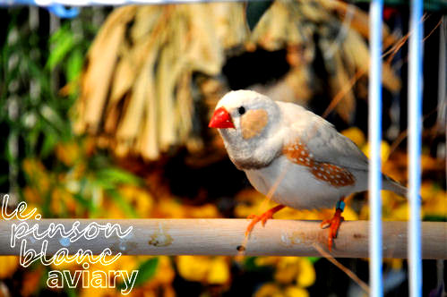 Oedipus ~ Chestnut Flanked White Zebra Finch male