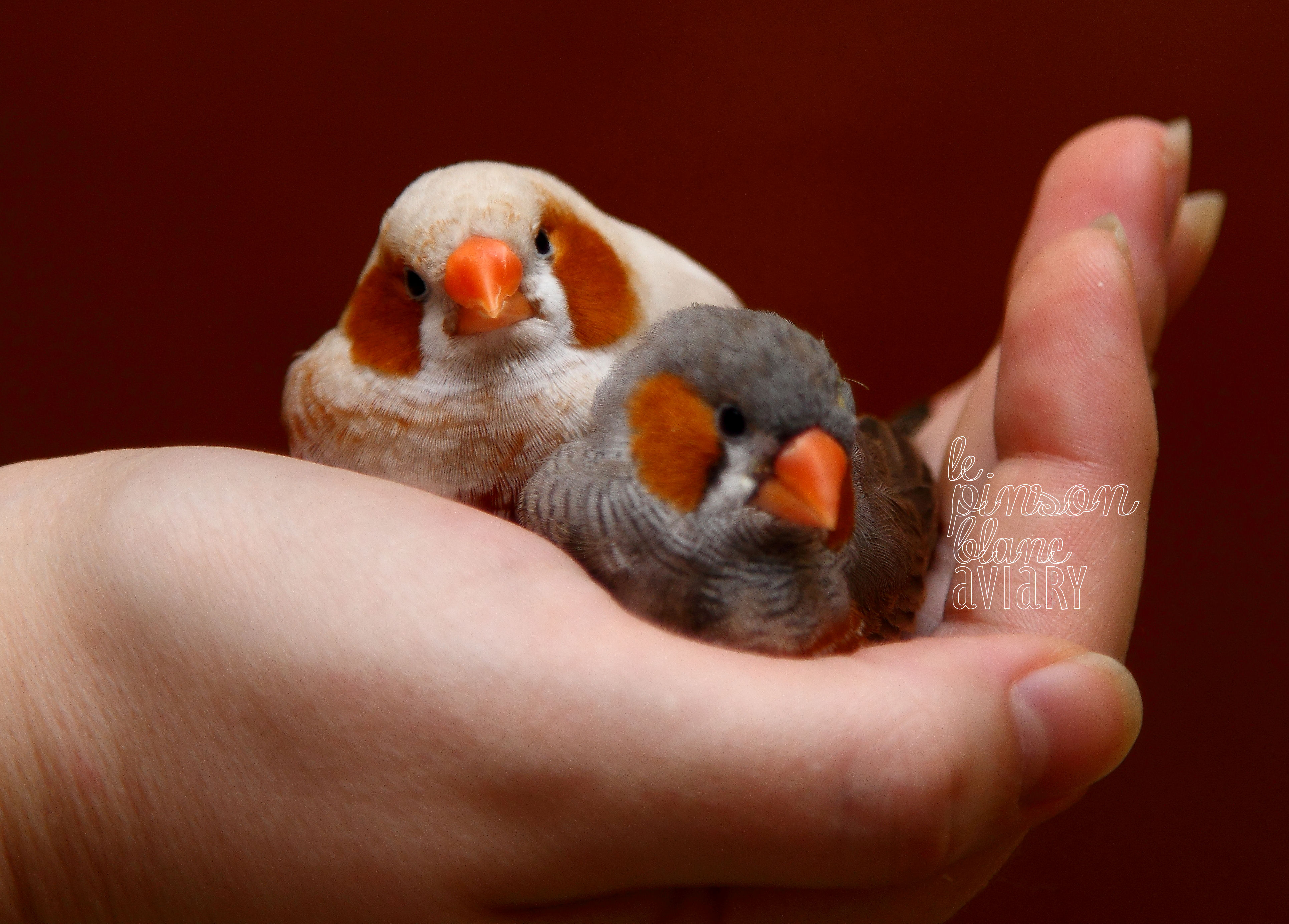 White zebra finch zebra finch 4 white picture -  White Zebra Finch Zebra Finch Miles New This Season 2014 We Ve Added A Few New Mutations To The Fold Very Red Phaeo Very Black Bf Bc