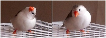 Brittany (Penguin Zebra Finch hen) enjoying some free-flying time in between clutches.