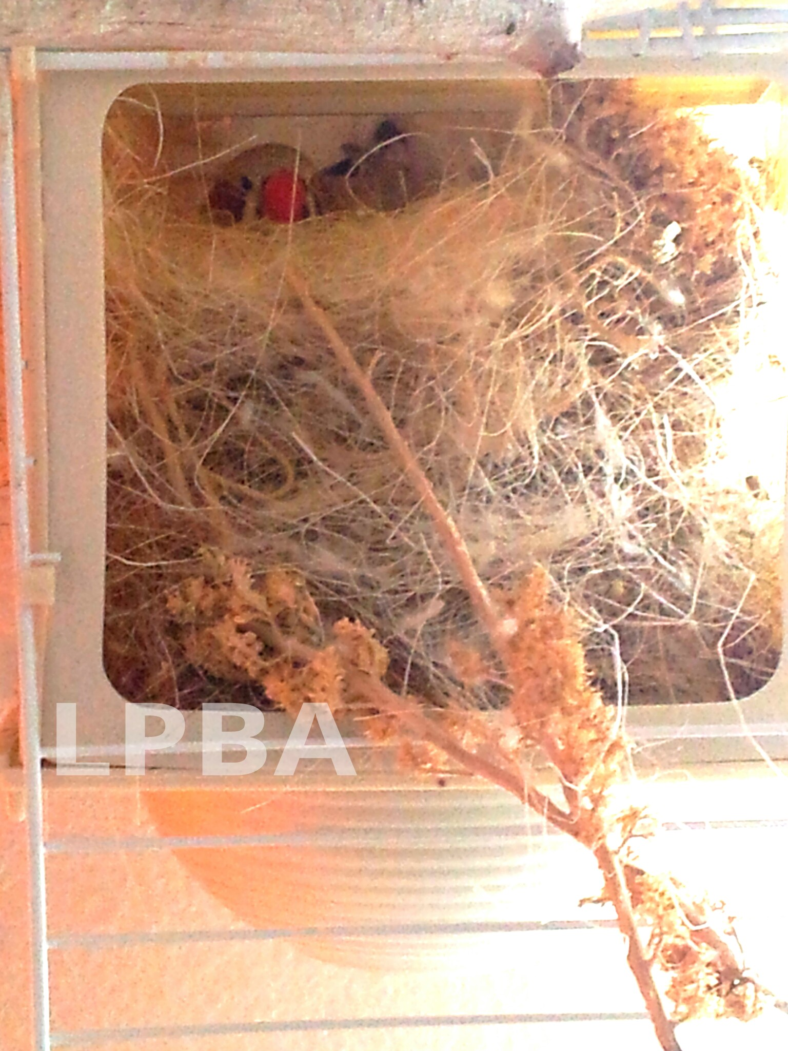 Zebra finch eggs - photo#19