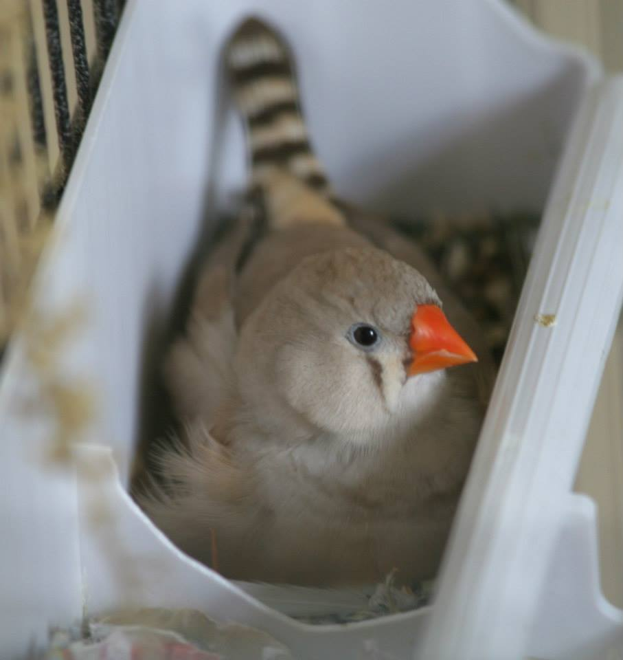 White zebra finch zebra finch 4 white picture -  Zebra Finches For Sale In Alabama Bean While She Was Determined To Incubate Seed