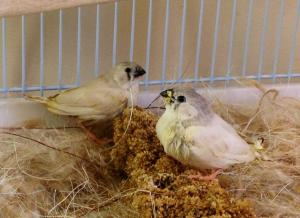 Two CFW sisters, hanging out on the millet.