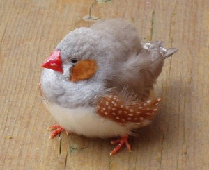An adult Zebra Finch who is obviously very sick or in pain & fluffed/puffed up. (Click for more info/credit)