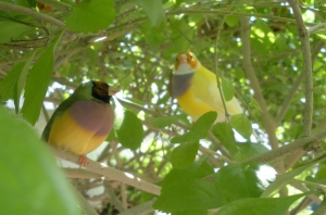 Gouldian Finches enjoying a free-flying aviary in the Florida Keys. (Photo Credit ~ HARI)