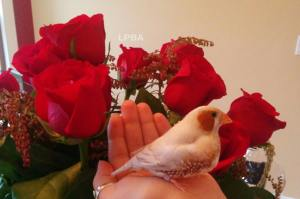 My handsome bird! Mr Miles posing in front of my Valentine's Day bouquet. (TWFA 2014)