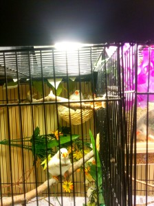 My BC CFW pair enjoying the cage lights. Aiden & Bella have tiny hatchlings in their nest. (TWFA 2014)