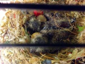 LB BF BC hatchlings (Leo & Lilac)