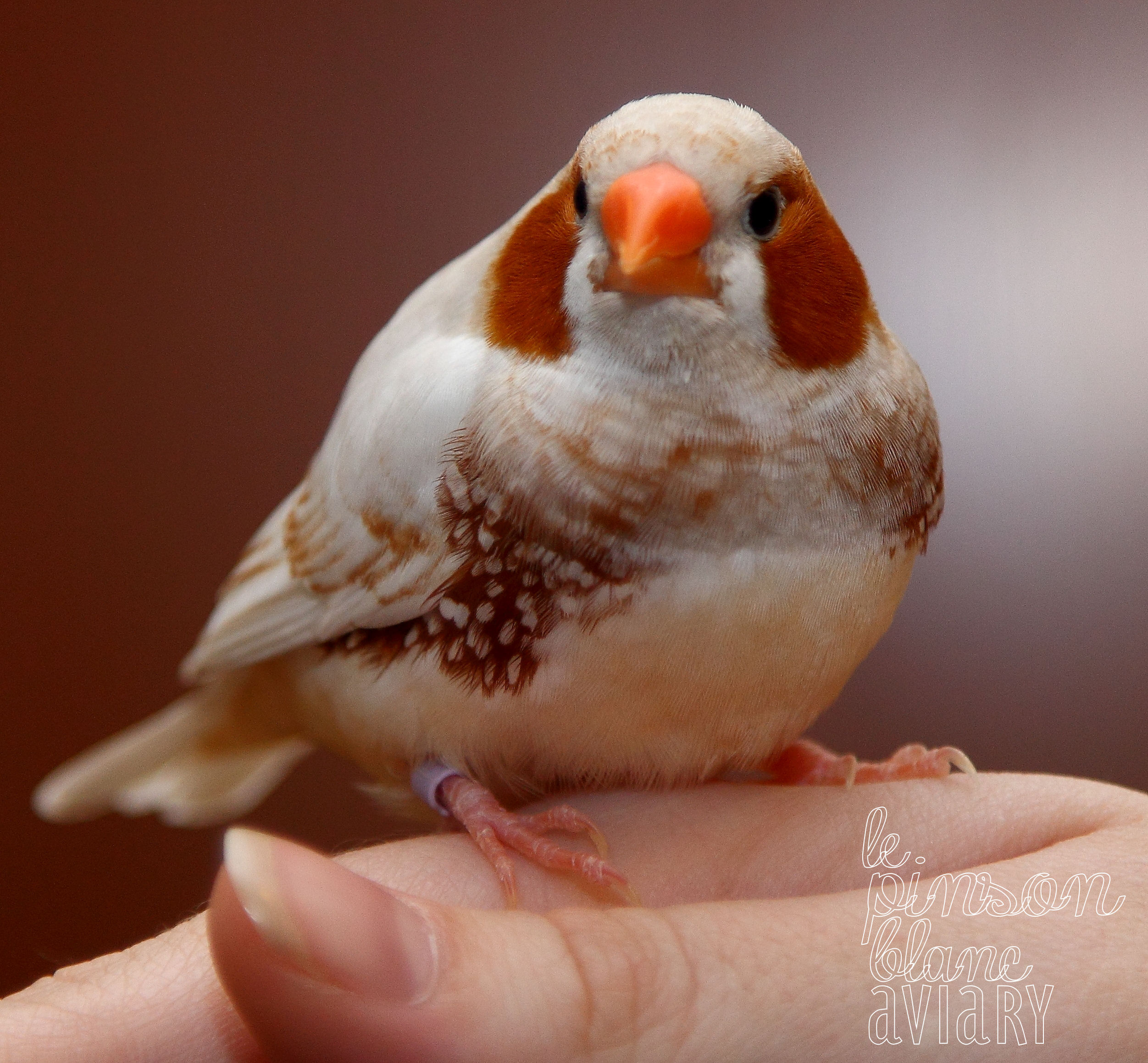 To Breed or Not to Breed? | The White Finch Aviary